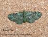 Green Pug  Pasiphila rectangulata Copyright: Graham Ekins