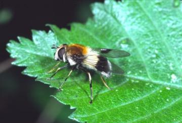 Leucozona lucorum Copyright: Peter Harvey