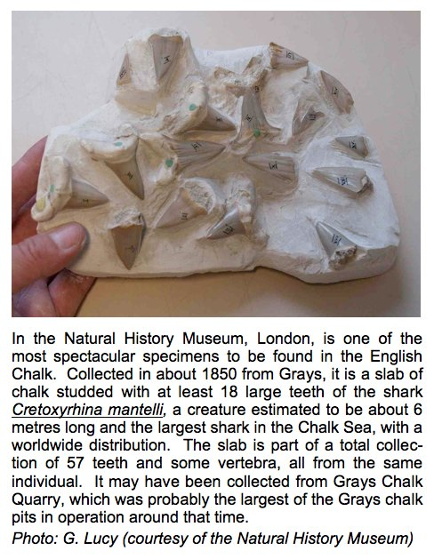 Shark teeth from the Chalk of Grays Copyright: Gerald Lucy