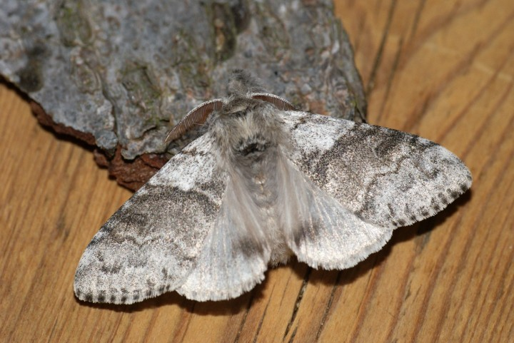 Pale Tussock 2 Copyright: Ben Sale