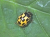 Propylea quattuordecimpunctata Copyright: Peter Harvey