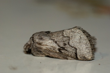Pale Eggar Copyright: Ben Sale