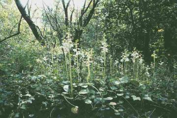 Round-leaved Wintergreen