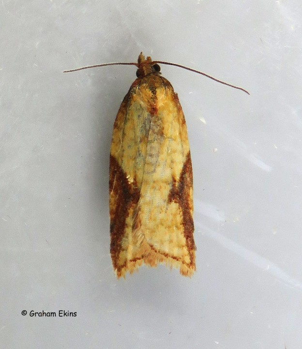 Acleris aspersana 3 Copyright: Graham Ekins