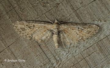 Eupithecia exiguata Mottled Pug Copyright: Graham Ekins