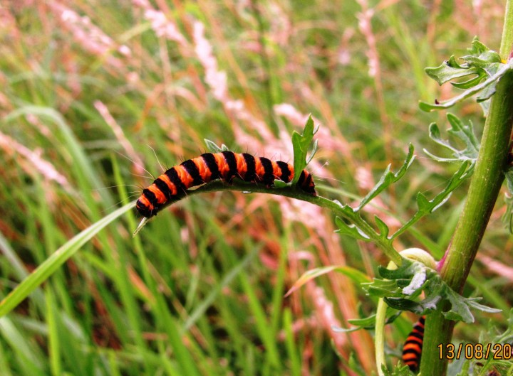Cinnabar moth caterpillar Copyright: Graham Smith