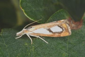 Catoptria pinella Copyright: Peter Harvey