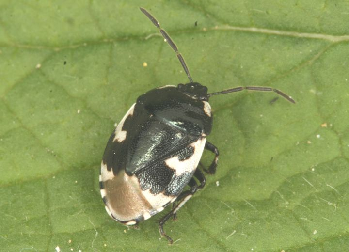Sehirus bicolor Copyright: Peter Harvey