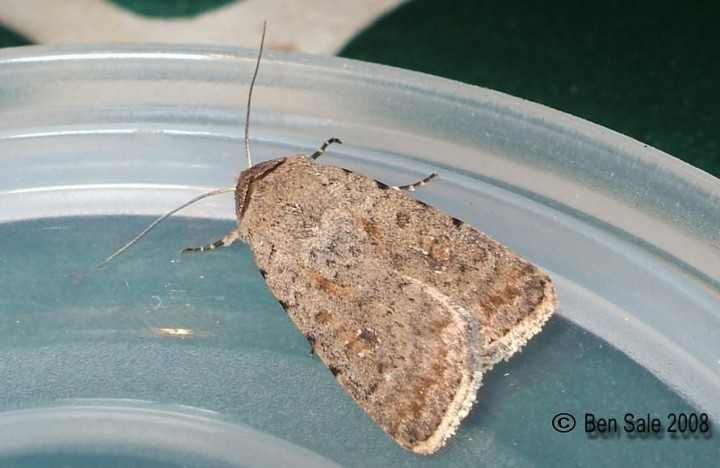 Pale Mottled Willow 2 Copyright: Ben Sale