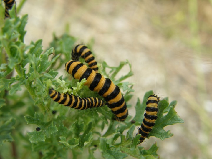 Cinnabar moth caterpillars on ragwort Copyright: Sue Grayston