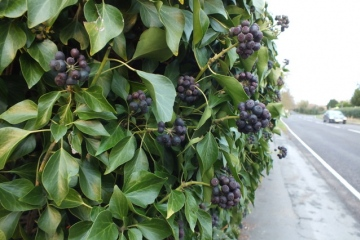 Hedera helix Copyright: Peter Pearson