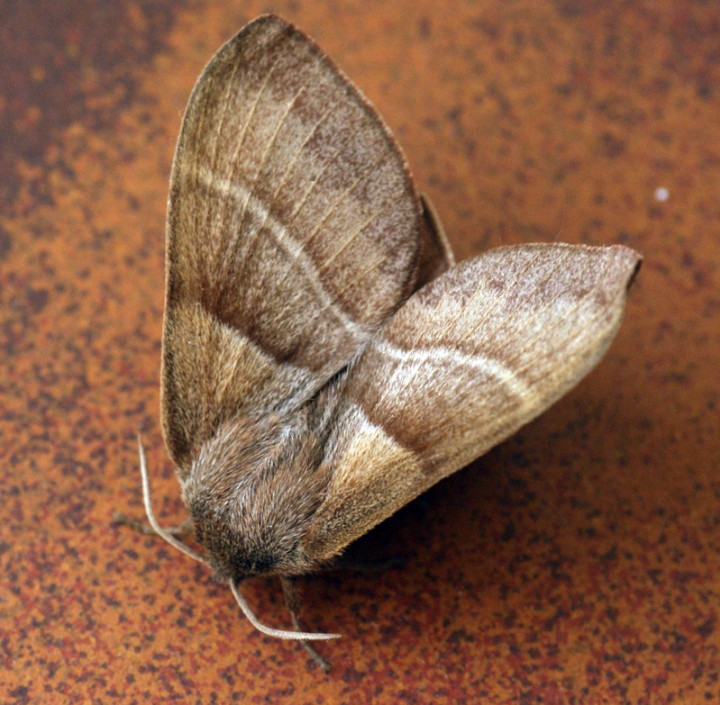 Fox Moth Copyright: Ben Sale