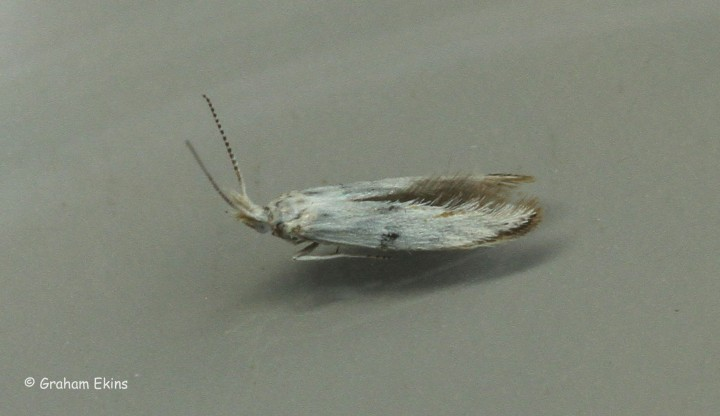 Coleophora ibipennella 4 Copyright: Graham Ekins