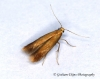 Tischeria ekebladella  4 Copyright: Graham Ekins