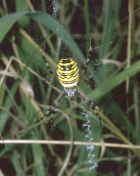 Argiope bruennichi Copyright: Peter Harvey