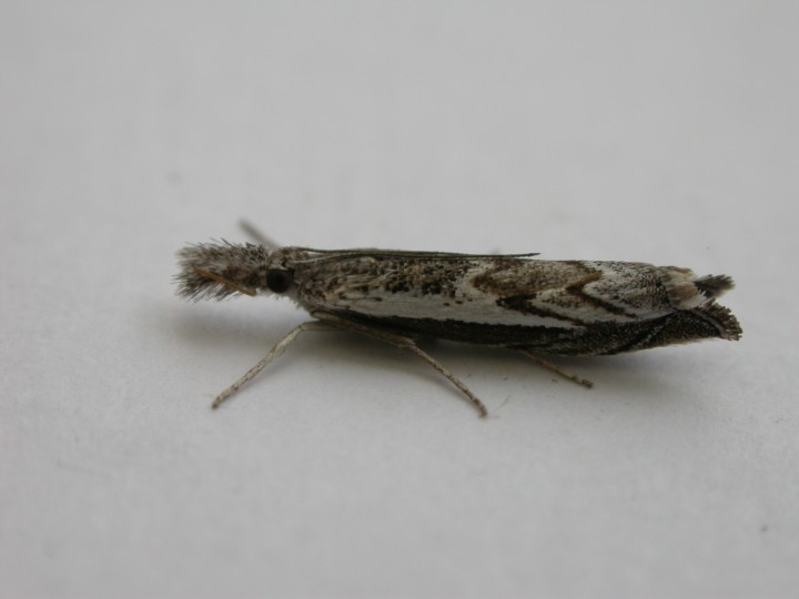 Platypes alpinella Copyright: Graham Bailey