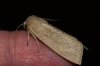 Large Wainscot 2 Copyright: Ben Sale