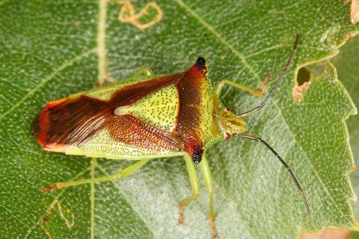Acanthosoma haemorrhoidale Copyright: Peter Harvey