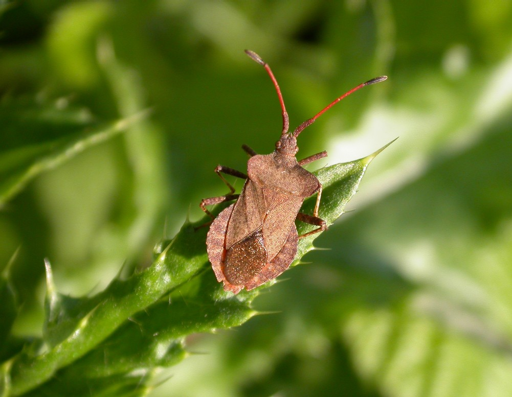 Dock Bug Copyright: Malcolm Riddler