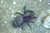 Pseudeuophrys obsoleta Copyright: Peter Harvey