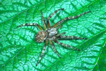 Larinioides patagiatus Copyright: Peter Harvey