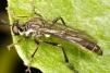 Dioctria baumhaueri Copyright: Peter Harvey