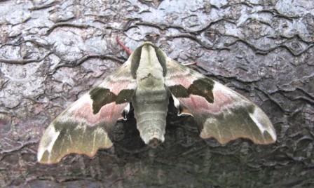 Lime Hawk Moth Copyright: Graham Smith