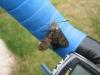 Hummingbird Hawkmoth 2 Copyright: Stephen Rolls