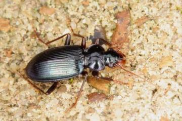 Leistus spinibarbis Copyright: Peter Harvey