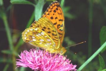 Argynnis adippe Copyright: Peter Harvey
