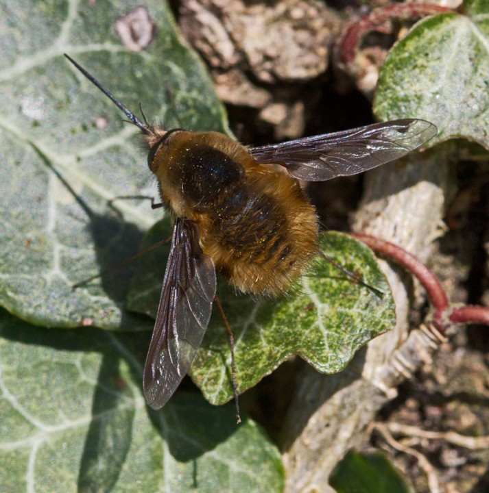 Bombylius major March 2012 Copyright: Graham Ekins