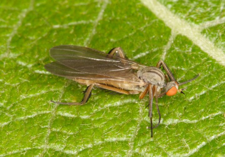 Rhamphomyia barbata Copyright: Peter Harvey