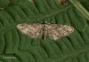 Eupithecia inturbata Maple Pug Copyright: Graham Ekins