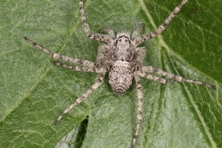 Philodromus buxi female3 Copyright: Peter Harvey