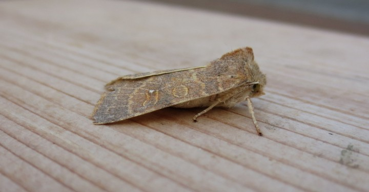 Pale-lemon Sallow. Copyright: Stephen Rolls
