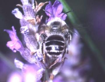 Anthophora bimaculata Copyright: Peter Harvey