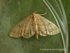 Idaea biselata  Small fan-footed wave 1 Copyright: Graham Ekins