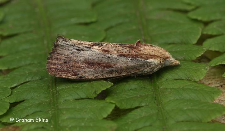 Galleria mellonella Wax Moth 1 Copyright: Graham Ekins
