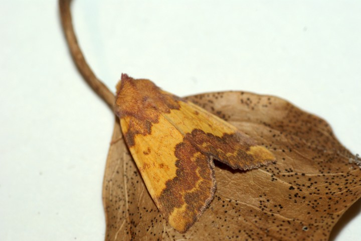 Barred Sallow 4 Copyright: Ben Sale