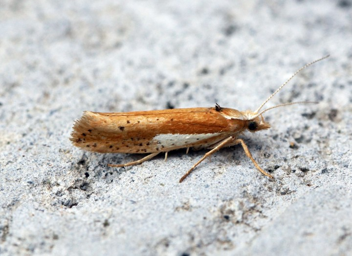 Ypsolopha parenthesella 1 Copyright: Ben Sale