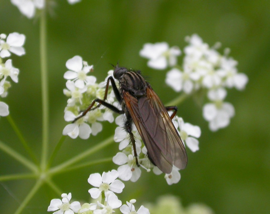 A dance fly - Empis tesselata Copyright: Malcolm Riddler