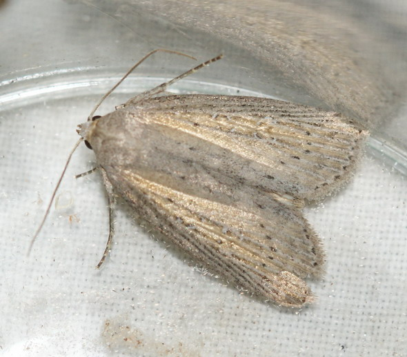 Silky Wainscot 1 Copyright: Robert Smith