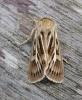 Antler Moth 2 Copyright: Stephen Rolls