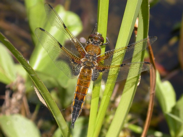 Four Spotted Chaser Copyright: Malcolm Riddler