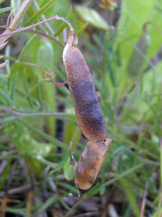 Larva in joined Vicia tetrasperma pods Copyright: Neil Harvey