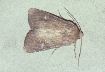Scarce Brindle Copyright: Martin Anthoney