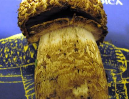 Agaricus lanipes - details of stem Copyright: Graham Smith