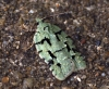 Acleris literana 2 Copyright: Ben Sale