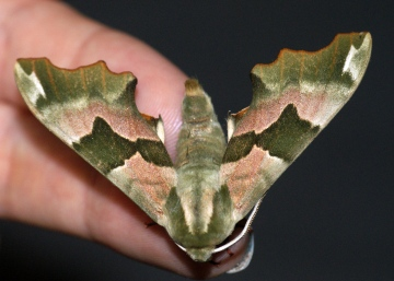 Lime Hawk-moth 3 Copyright: Ben Sale