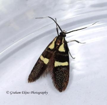 Dasycera olivella Copyright: Graham Ekins